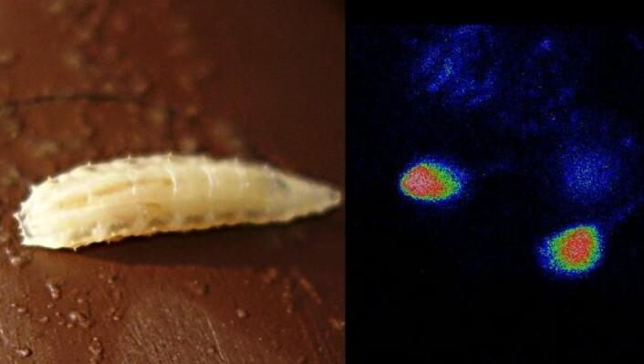 Når bananflugelarvar fekk servert næringsfattig mat, fyra hjerneceller av signal om mangel på viktige aminosyrer. Biletet til høgre viser dei aktive (raude) hjernecellene. (Foto: RickP, Wikimedia Commons/ Institut de Biologie Valrose (iBV))