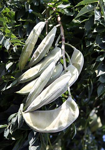 Fruktene til Kentucky coffeetree er læraktige og giftige for mange av dyra som lever i dag.