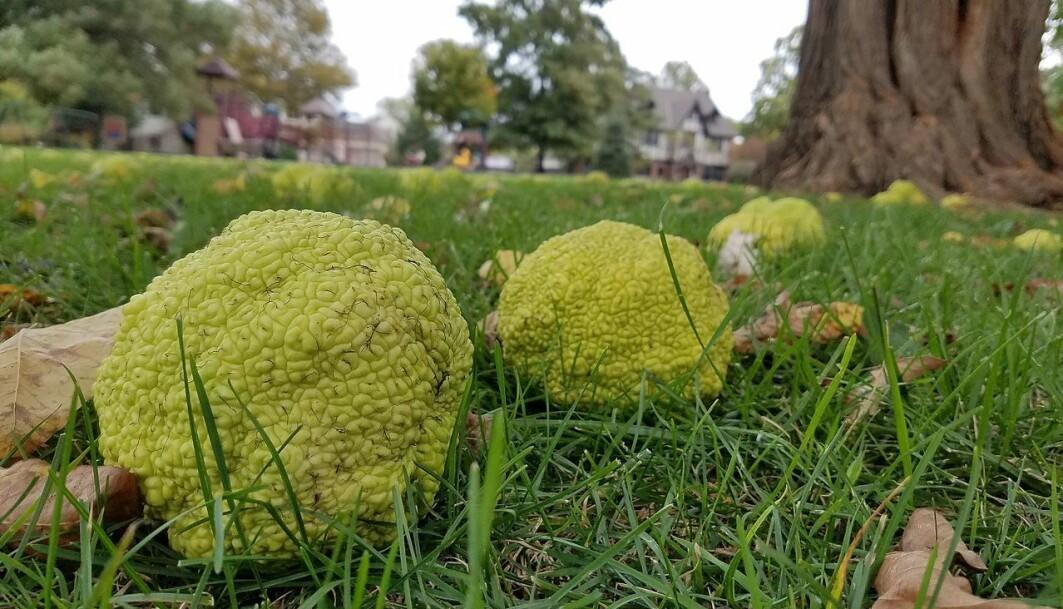 Maclura pomifera, eller osage orange, blir liggende og råtne. De som spiste denne frukten er for lengst døde.