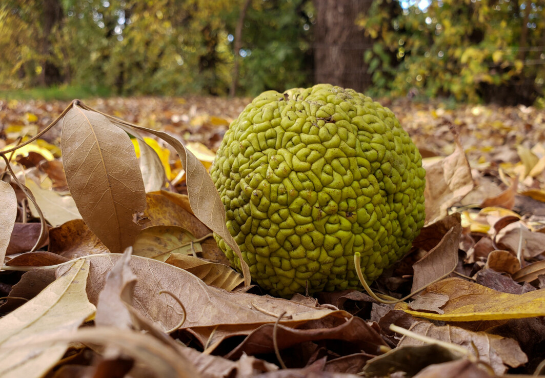 Maclura pomifera, eller osage orange tree, bruker mye krefter på å lage svære, tunge frukter. Men ingen er interessert i å spise dem. Så hva er vitsen?