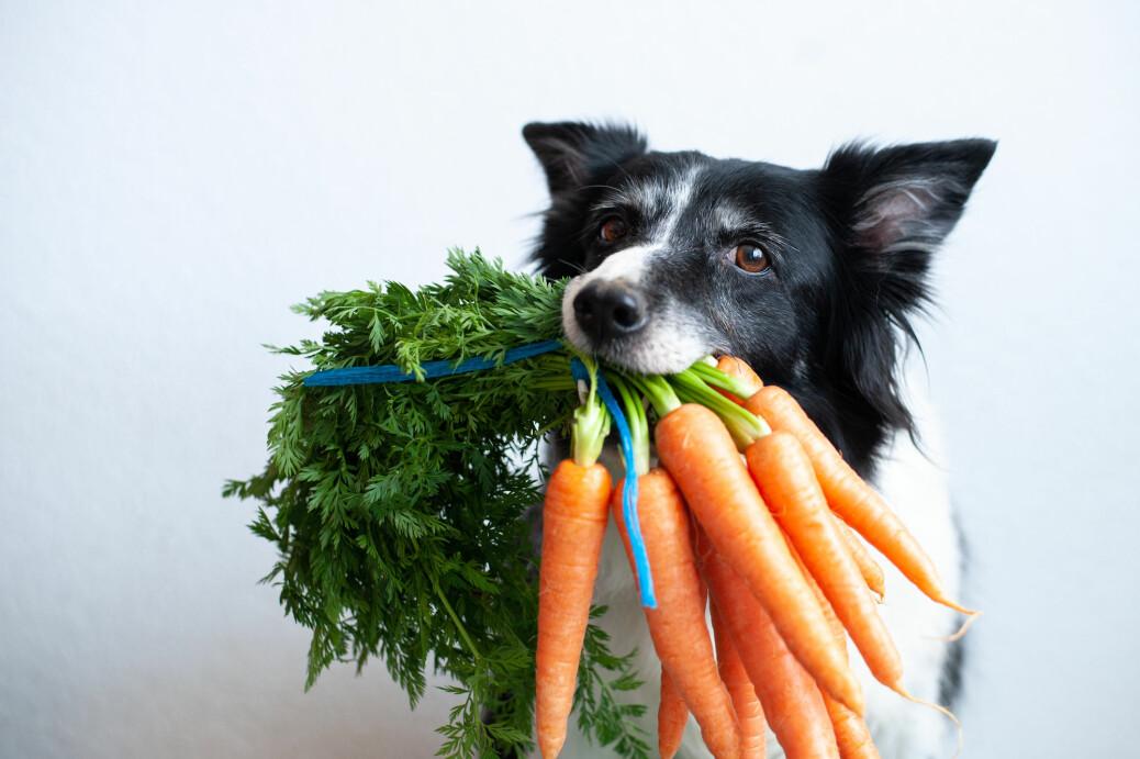 Hunder spiser mye forskjellig, også grønnsaker, selv om valget nok ville falle på en karbonade framfor en gulrot.