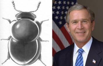 """""""Her er billen som er oppkalt etter George W. Bush, slimsoppbillen Agathidium bushi. Ikke enkelt å skue noen åpenbare likhetstrekk. Tegning: Frances Fawcett, Cornell University, Ithaca, NY. Foto ved Eric Draper, The White House."""""""