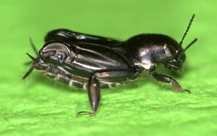 Xya capensis er en jordsiriss og i slekt med gresshopper. Den kan hoppe nesten like høyt til vanns som til lands. (Foto: Burrows et al. Current Biology 2012)