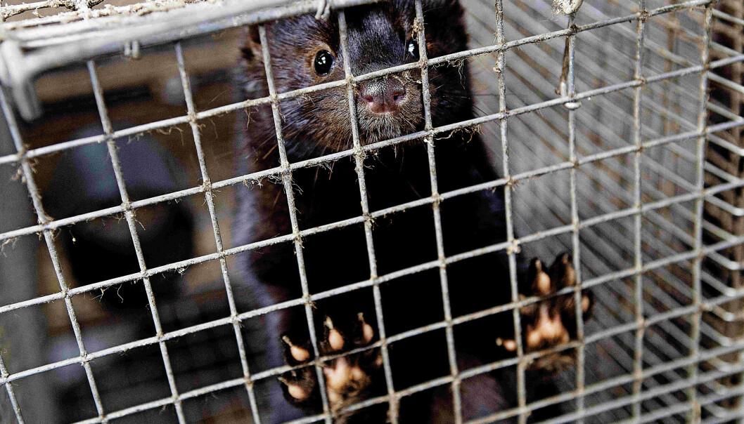 I Danmark har flere hundre tusen mink blitt avlivet for å unngå en mutert versjon av koronaviruset.