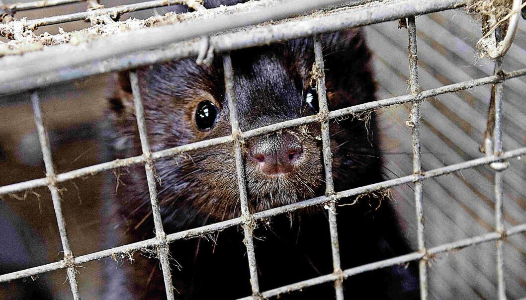 – Viruset kan ha mutert før det gikk til mink