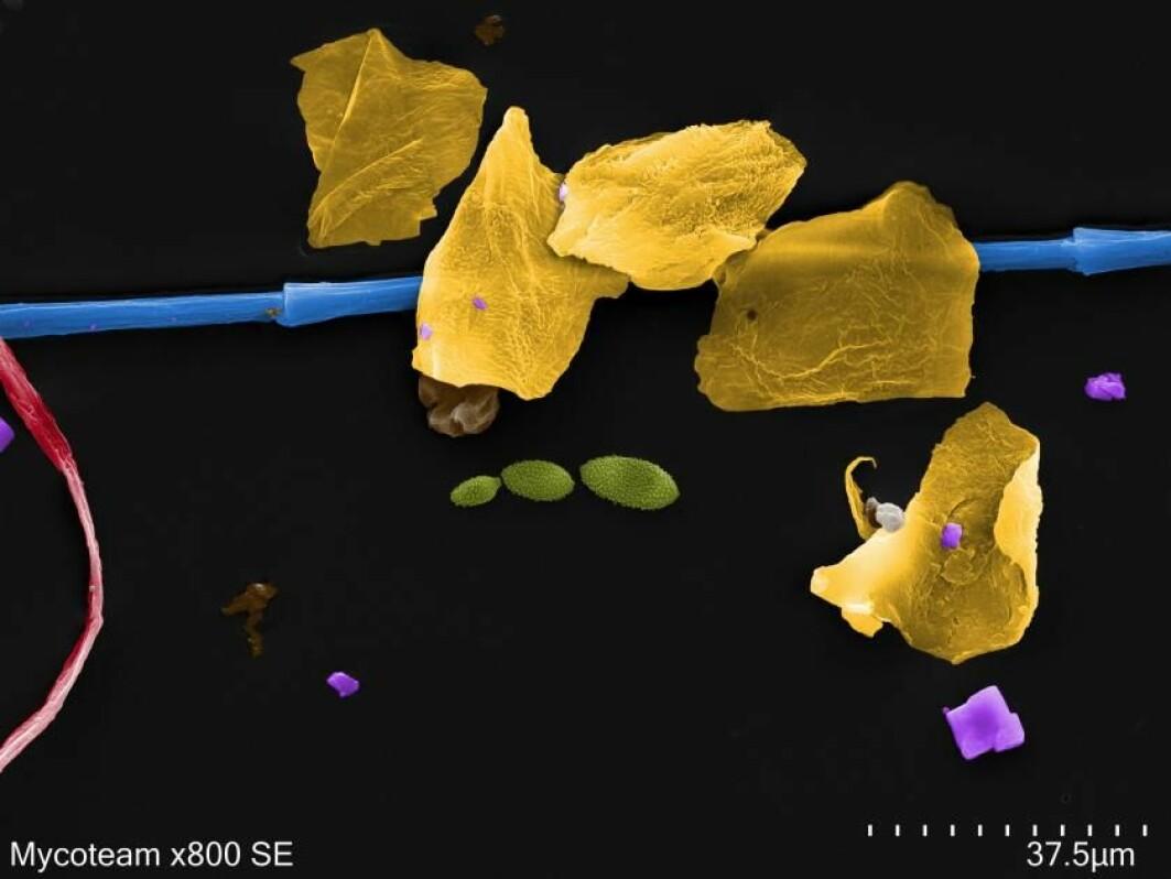 Dette bildet av husstøv er forstørret 800 ganger og viser fragmenter av hudceller (gult), dun fra ei boblejakke (blå), en bomullsfiber som er cirka 0,007 millimeter på det tykkeste (rød), soppsporer (grønne) og saltkrystaller (lilla).