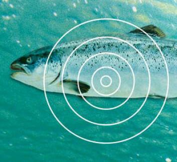 """""""Fiskebiologer og teknologer jobber sammen for å finne mer ut om hvor laksen beveger seg og hva den gjør når den ute i havet. Ill: NTNU Info/Kolbjørn Skarpnes"""""""