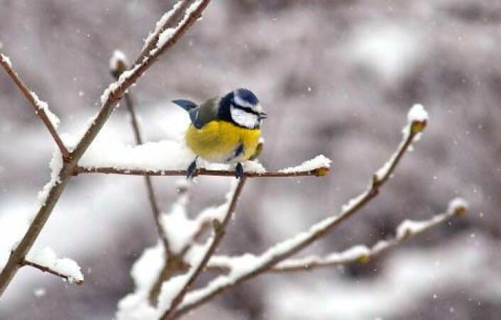 Slik er vilkårene for de danske småfuglene når de blir hjemme om vinteren. En forsker fra Københavns Universitet gir en rekke gode grunner til at småfuglene likevel velger å bli hjemme. (Foto: Colourbox)