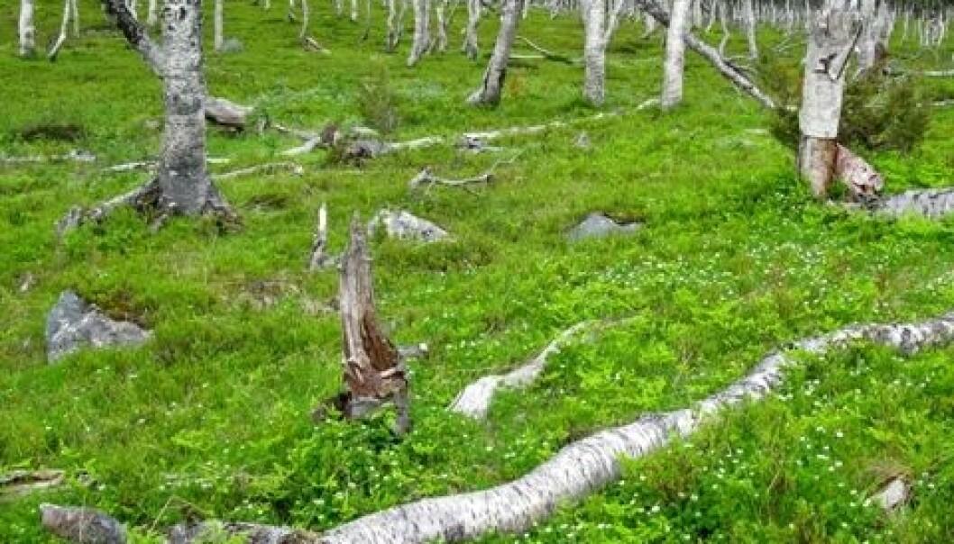 Blåbærbjørkeskog. Fra Svartfjell i Lenvik kommune i Troms. Per K. Bjørklund/Skog og landskap