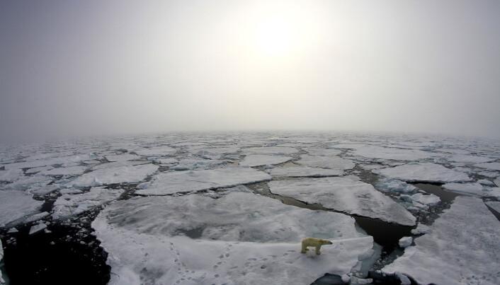 Havisen smelter i et urovekkende tempo, og skaper endringer for marine arter, fra topp til bunn i næringskjeden. Isbjørn troner øverst i næringskjeden.
