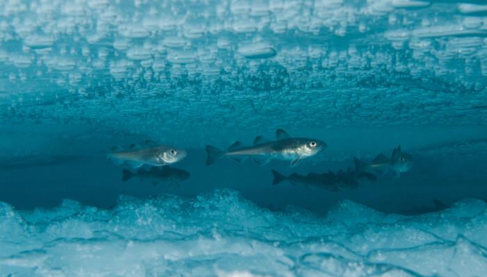 Fisk som trenger is og kulde, som polartorsken, har endret adferd. Varmere klima gjør at det blir færre av disse.