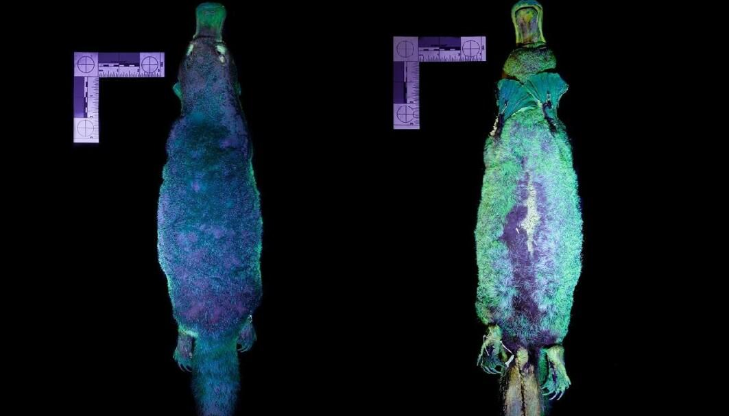 Nebbdyret er brunt. Men når forskerne lyste med UV-lys, skinte pelsen i grønt og blått.