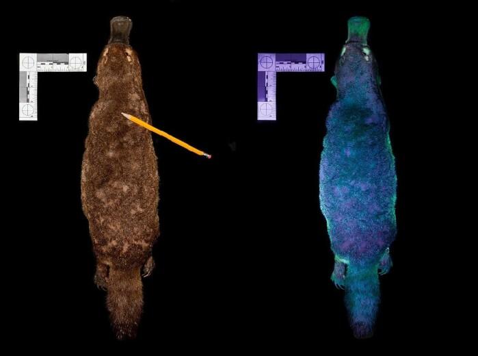 Her ser vi nebbdyret i vanlig lys, da er pelsen brun, og i ultrafiolett lys (UV).