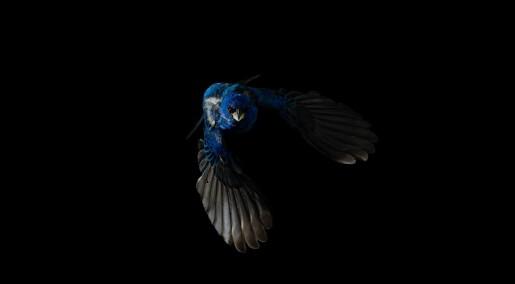 Skifter fjær for å fly, men også for å imponere
