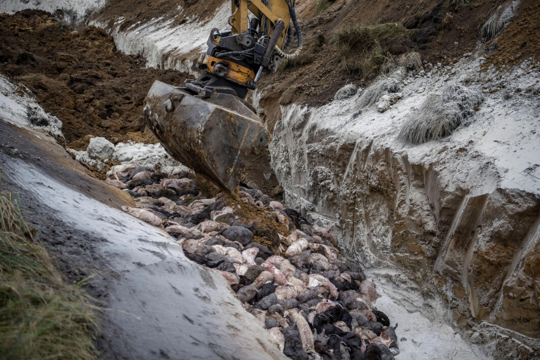 En av flere massegraver der døde minkdyr dumpes ettersom krematoriene ikke har kapasitet til å ta unna alle dyrene som avlives i virusfrykt.