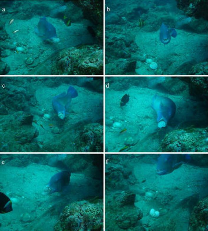 Leppefisken Choerodon schoenleinii knuser et skjell mot steinen. (Foto: Scott Gardner/Macquarie University)