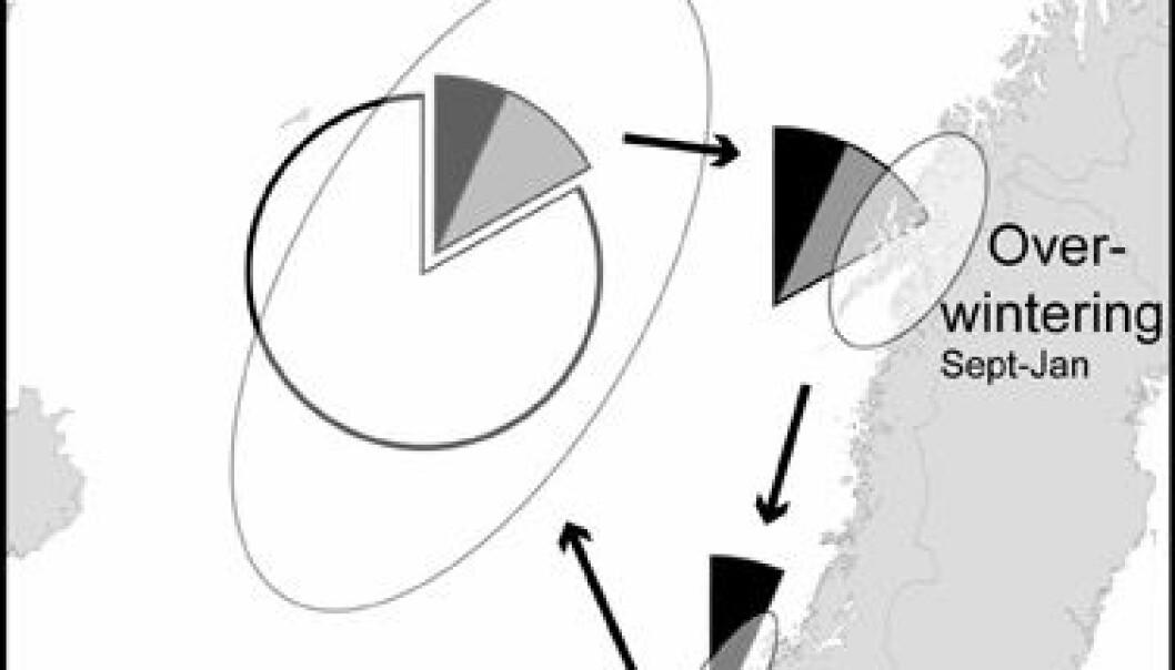 """""""Silda spiser ca 1,5 millioner tonn fett i Norskehavet om våren og sommeren. Fettet blir med inn til overvintringsområdene ved Norskekysten og ender som egg og melke på bunnen i gyteområdene. Illustrasjon UiB"""""""