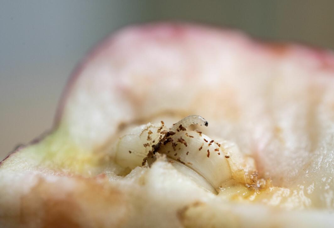 Årets angrep av rognebærmøll i eple har vore dei største på 26 år.