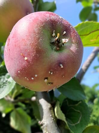I år har rognebærmøll ført store tap for epleprodusentane.