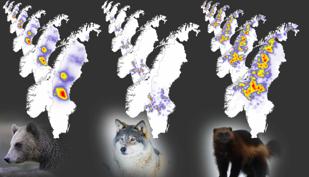 Annual maps of population densities of brown bears, grey wolves, and wolverines in Scandinavia from 2012 to 2018.