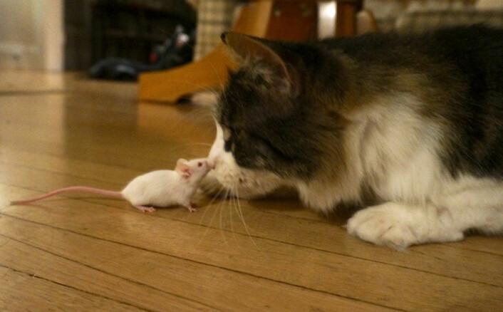 Den infiserte musa ser ut til å ha mistet sin frykt for katter - permanent. (Foto: Wendy Ingram and Adrienne Greene)