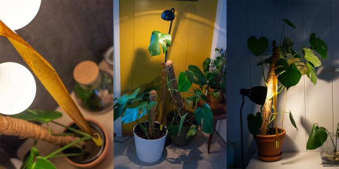Tips: Heng opp limfeller over plantene og sett på lys om kvelden. Hærmyggene tiltrekkes av lyset og går dermed lettere i fella.