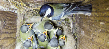 Fugleunger må forlate redet før de er klare