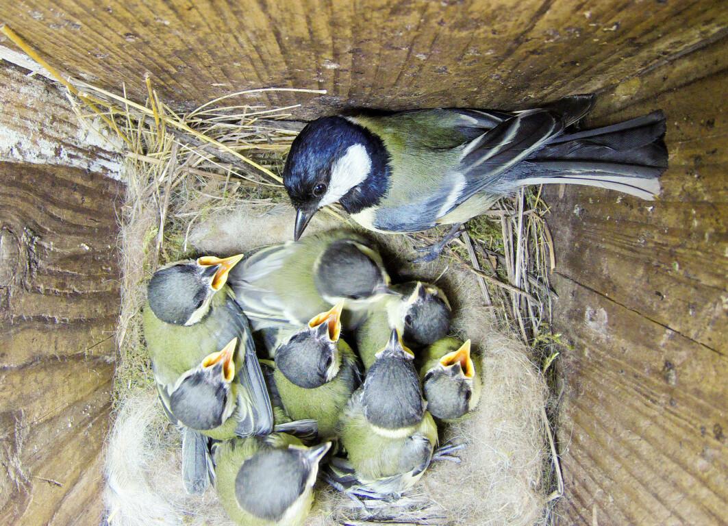 Når er det egentlig på tide å forlate redet? Foreldre og fugleunger er ikke enige.