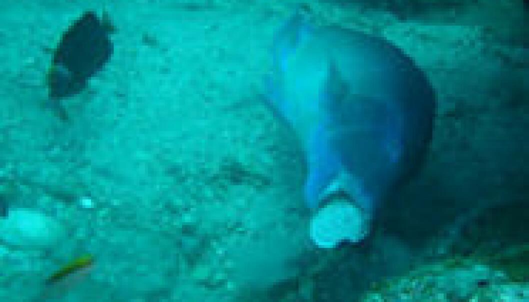 Leppefisken Choerodon schoenleinii knuser et skjell mot steinen. Scott Gardner/Macquarie University
