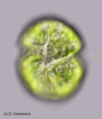 Dinoflagellaten Lepidodinium chlorophorum. (Foto: Dag Klaveness)