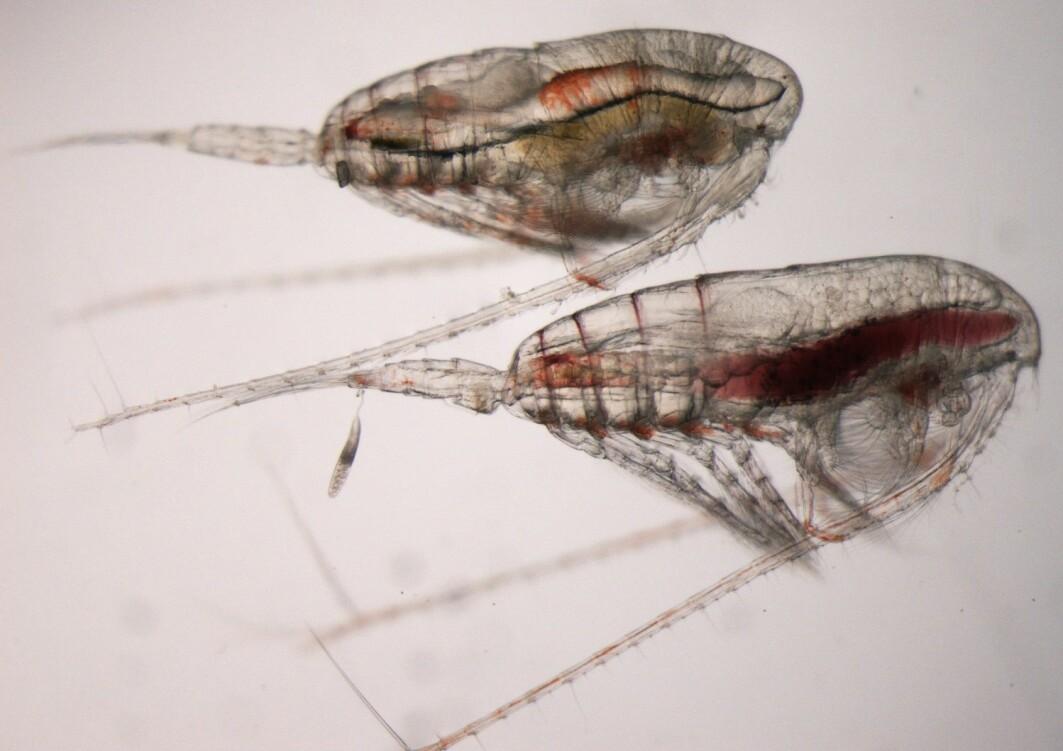 Høy risiko for å bli spist kan påvirke livssyklusen hos nøkkelarten raudåte. Bildet viser en voksen hann (øverst) og en hunn (nederst).