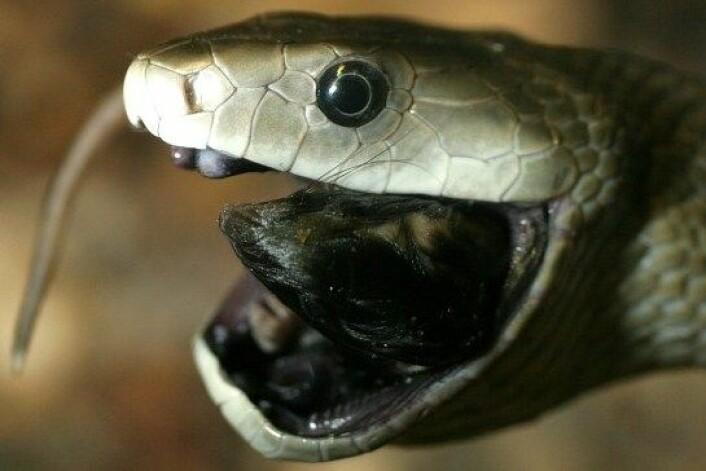Verdens raskeste slange kan nå kanskje føye 'verdens beste produsent av smertestillende stoffer' til skrytelista. (Foto: Tad Arensmeier / Wikimedia Commons)