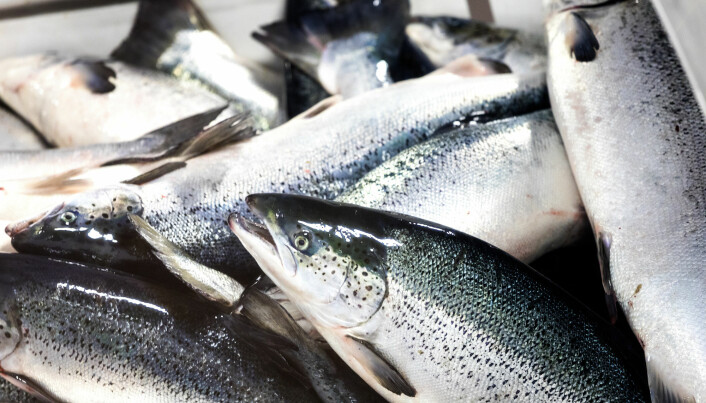 """""""Perhaps some people will think that fish produced in RAS facilities result in inferior products, but that really is not the case"""", Mota assures. """"The fish is a premium product even though it has been in a RAS all its life."""""""