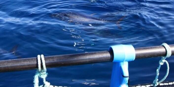 Denne tunfisken veier 200 kilo og er blant stamfisken som har gitt det norske selskapet Fortuna Mare rogn til å starte opp industrielt oppdrett av tunfisk i Spania. (Foto: Jan Ove Evjemo)