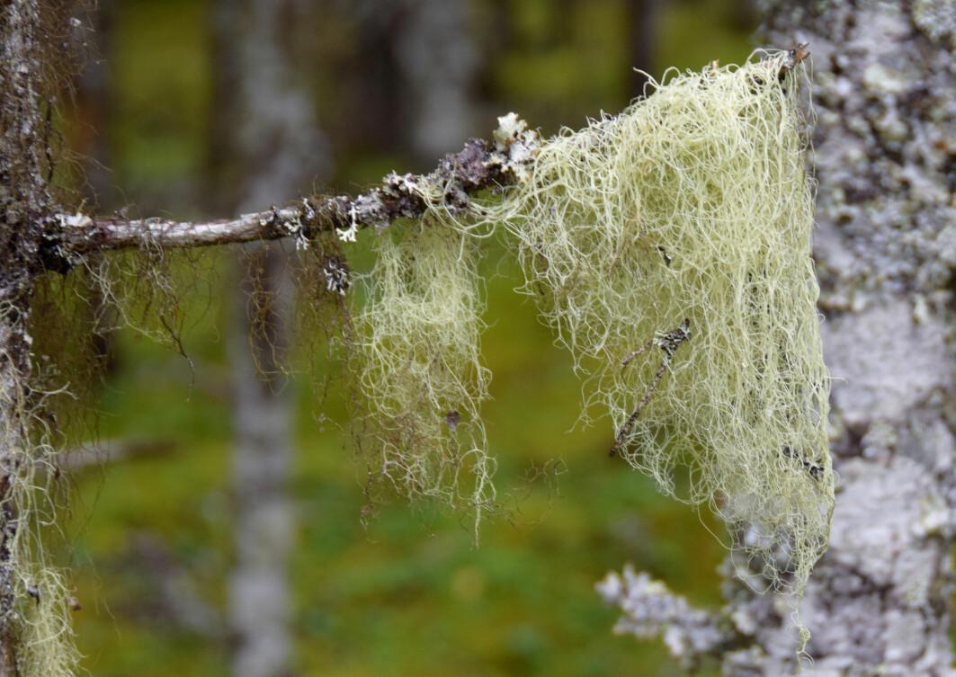 Gubbeskjegget (Alectoria sarmentosa) er en nær trua art i Norge. Den gode nyheten er at den vil klare seg godt i skogen til tross for klimaendringer.