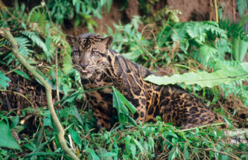 """""""Leoparden på Borneo (neofelis diardi). Dette bildet er tatt på den indonesiske delen av øya. Foto: WWF-Canon/Alain Compost."""""""