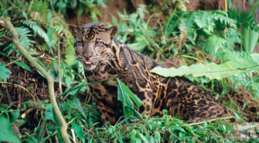Borneos leopard er egen art