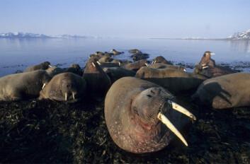 Etter 60 år med fredning er hvalrossbestanden fortsatt lav, men antallet har steget de senere årene. (Foto: Tor Ivan Karlsen / Norsk Polarinstitutt)