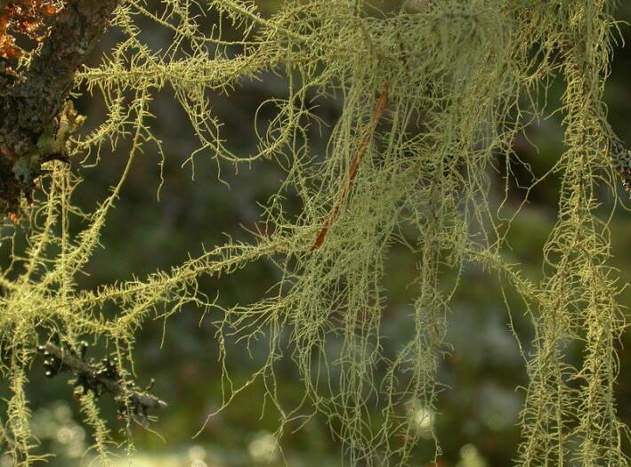 Flokestry (Usnea dasopoga) klarer seg også godt i våtere vær.