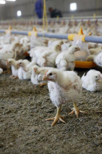 Kylling som spiser helt korn, får en større og mer velutviklet krås. (Foto: Grethe Ringdal, Animalia)