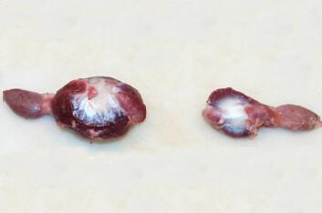 Til venstre ser vi en krås fra kylling fôret med helt korn, mens til høyre ligger en krås fra kylling fôret med 100 prosentmalt korn. (Foto: UMB)