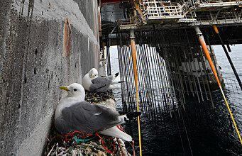 Vulnerable kittiwakes find refuge on offshore oil rigs