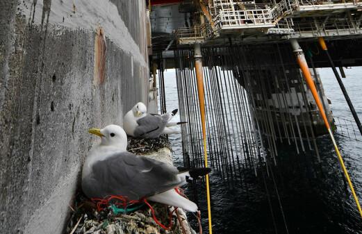 Vulnerable kittiwakes find refuge on offshore oil rigs