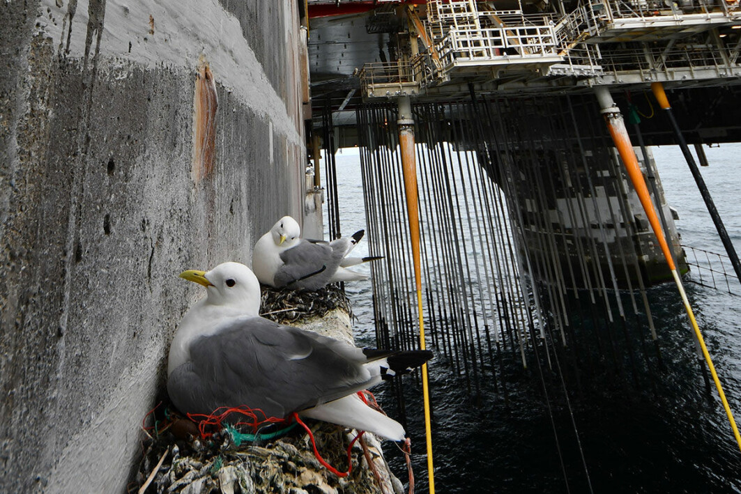 Recent studies have documented kittiwakes colonizing offshore oil rigs.