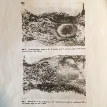 Seljelid viser fram forskningsartikkelen fra 1986. Der finnes bilder av den digre svulsten hos dyr som ikke fikk betaglukan. Og bilder av buken til mus som fikk. Der er bare arret igjen etter svulsten som vokste der bare et par uker før.