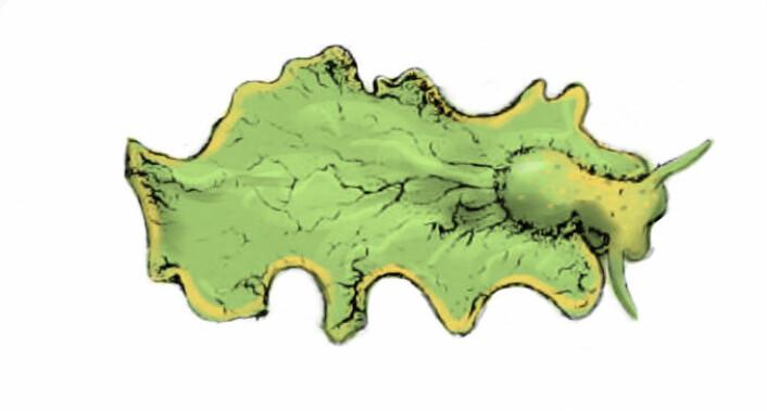 Elysia chlorotica. (Foto: (Illustrasjon: Augustus A. Gould, W. G. Binney/Wikimedia Commons))