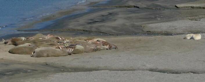 Utsnitt fra et bilde tatt med overvåkningskameraet på Kapp Lee. Her ser vi hvalross og isbjørn i skjønn forening. (Foto: Norsk Polarinstitutt)
