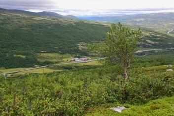 Småkrattet på Dovrefjell vokser til, og fjellskogen ekspanderer. (Foto: Anders Bryn/Skog og landskap)