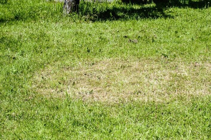 Gult gress forårsaket av hageoldenborre. (Foto: Erling Fløistad)