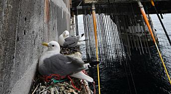 Krykkjer bygger reir på oljeinstallasjoner